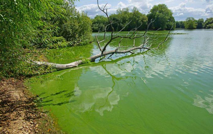 How Dangerous Is Blue-Green Algae?